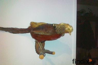 Tolles Sammlerstück Vogel Fasan zum Schnäppchen