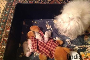 Toy-Pudel Weiß Welpen aus privater Zucht suchen liebevolles Zuhause