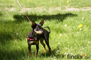 Toy Terrier
