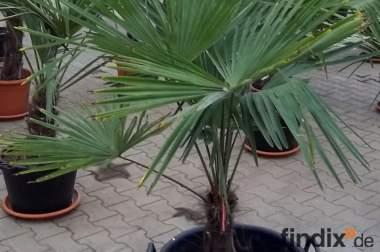 Trachycarpus foruneiund andere Exoten, winterhart, jetzt pflanzen