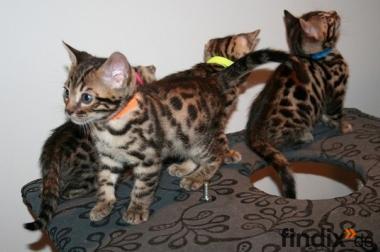 Traumhaft schöne BENGAL-Kätzchen mä.+weibl.