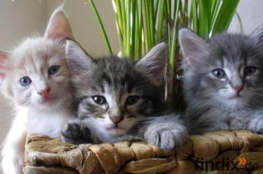 Traumhaft schöne Norwegische Waldkatzen Babys in diversen Farben