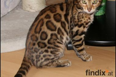 Traumhafter Bengal Kater