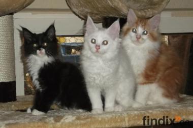 Typvolle kräftige Maine Coon Kitten mit Jahresimpfung