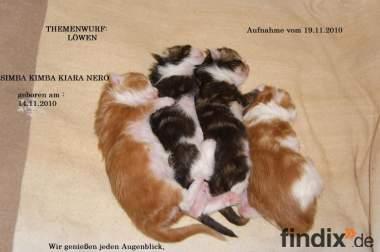 Typvolle Maine Coon Kitten mit Papiere und Schmuseabitur