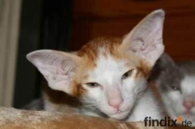 Typvolle Orientalisch Kurzhaar Kitten