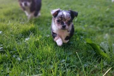 Vergebe Chihuahua Welpen aus tierärztl behördlich geprüfter Zucht