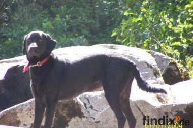 Verkaufe 15 Monate alte reinrassige labrador Hündin