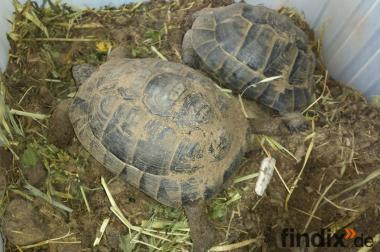 Verkaufe 2 Maurische Landschildkröten -Testudo graeca- aus 2007