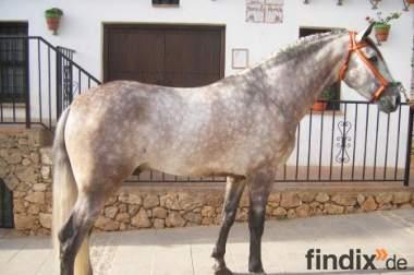 verkaufe bildschöner Andalusier wallach