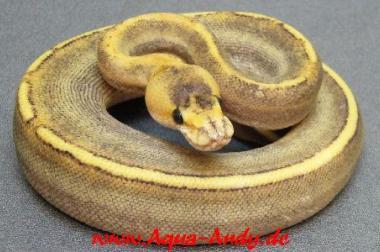 Verkaufe Boas, Pythons und Nattern verschiedene Varianten