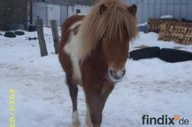 Verkaufe einen Shetland-Pony Hengst