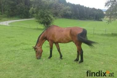 Verkaufe Freizeit- oder Beistellpferd
