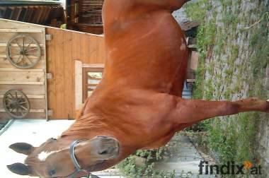 verkaufe hübsche bayrische warmblutstute 06646537023, 06641268591