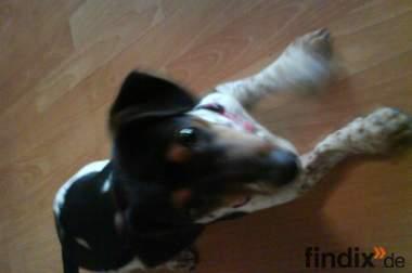 Jack Russel Terrier (6 Monate alt)