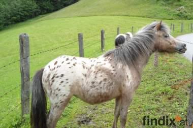 Verkaufe Shetland-Pony-Stute braun getigert