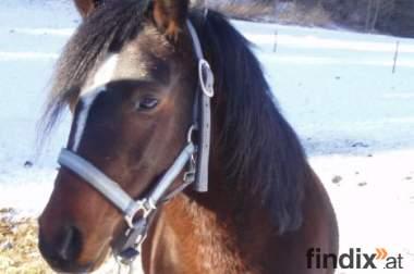verkaufe welsh pony