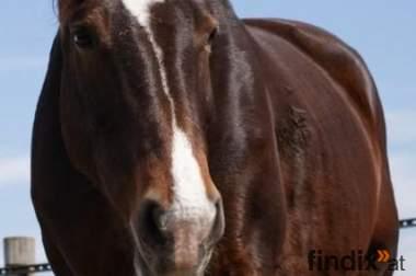 Verlass-Pferd mit Potential in gute Hände abzugeben