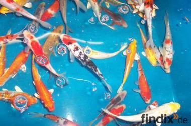 Versand von koi teichfischen biotopfischen fa for Elritzen im gartenteich