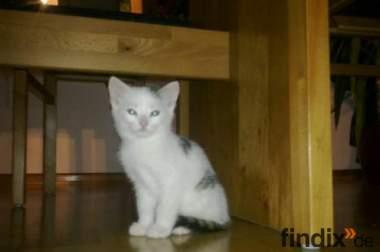 Verschenke 8 Wochen altes Katzenbaby | Verspielt & Stubenrein