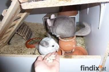 verschenke chinchillas