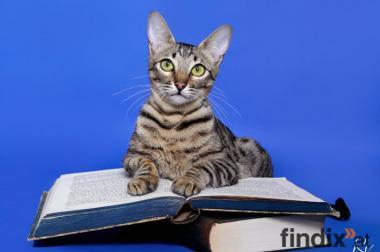 Vier Reinrassige Savannah Kitten zu vergeben