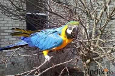 Weibliche Blau und Gold Ara mit Käfig