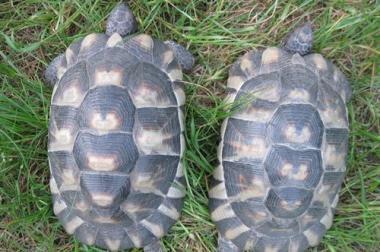 weibliche Breitrandschildkröten NZ 2004 bis 2009