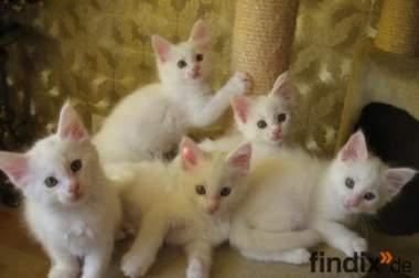 Weiße Maine Coon Babys !!!