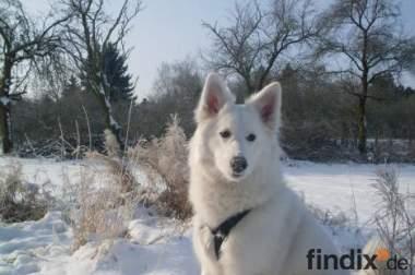 Weiße- Schäferhund Mischlingshündin abzugeben