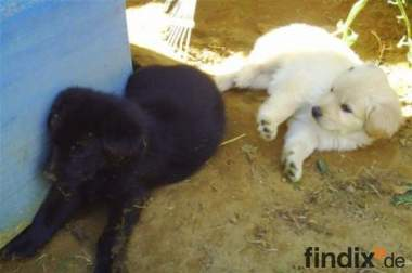 Welpen Mischlinge Labrador Schäferhund