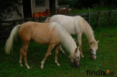 welsh pony jungstute