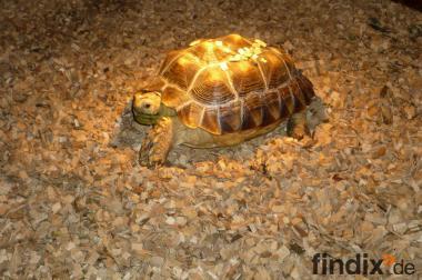 Wer TAUSCHT---Graupapagei, Kongo- Papagei gegen Schildkröten ????