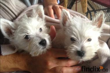 West Highland Terrier Welpen mit Stammbaum, Westi 8 Wochen