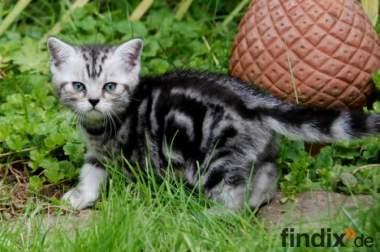 Whiskas- Kitten Silvertabby BKH Britisch Kurzhaar abzugeben