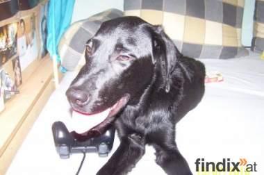 Wien Labrador  Mischlings Rüde 9 Monate