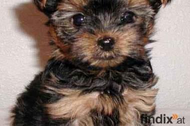 Wien yorkshshire terrier 06503018764