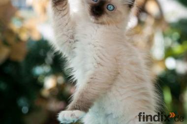 Willst Du meine Mami sein? Ragdoll Kitten suchen...