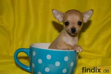 Wunderhübscher EXTRA MINI Chihuahua Rüde hellbraun