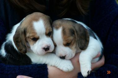 Wunderschöne Beagle Welpen aus kleiner Hobbyzucht