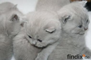 Wunderschöne Britisch Kurzhaar Babys