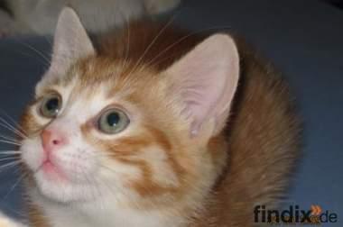 wunderschöne Katzenbabys abzugeben