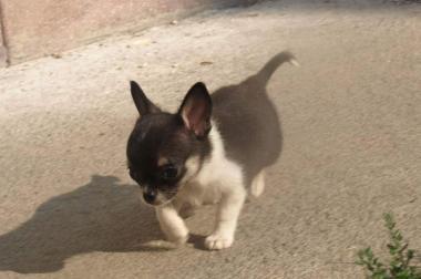 Wunderschöne Kurzhaar Chihuahua Hündin