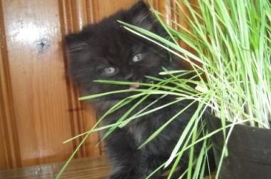 Wunderschöne Perser Kätzchen