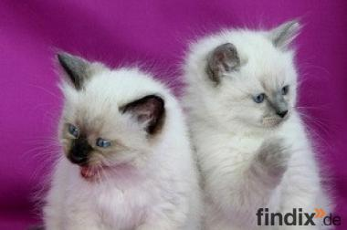 Wunderschöne Ragdoll Kitten suchen ein Neues Zu Haus