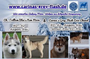 wunderschöne reinrassige Siberian-Husky-Welpen VDH-Zucht,