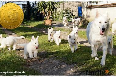wunderschöne Weiße Schäferhundwelpen 8 Wochen
