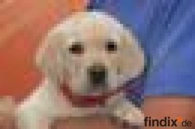 Wunderschöner Blonder Labradorwelpe zu vergeben