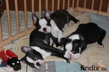 Wunderschöner Boston Terrier Rüde mit FCI-Papieren !!!