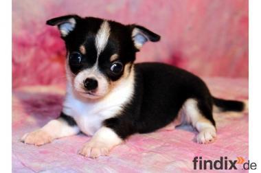 Wunderschöner kleiner kurzhaariger Chihuahua Welpe